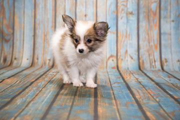 Papillon on blue wooden background