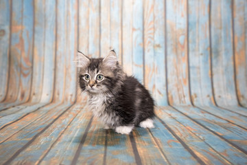 Munchkin on blue wooden background