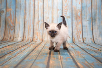 Siamese on blue wooden background
