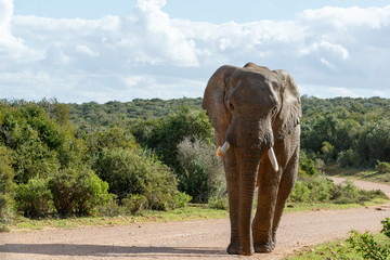 Acrylic Prints Elephant walking on the dusty road