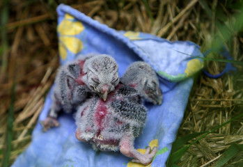 "Two Boreal owl chicks rest outside the ""Smart Nest Box"" after being inspected in a forest near the village of Mikulov"