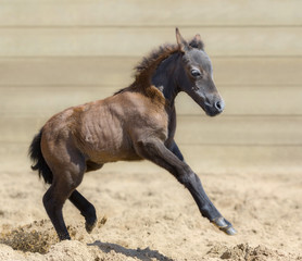 Wall Mural - Little American miniature bay foal playful in sand.