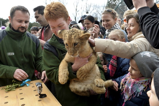 One of two fourteen-week old Barbary lions (Panthera leo leo), a male named Ramzes and a female named Zara, during a naming ceremony at the Bojnice Zoo