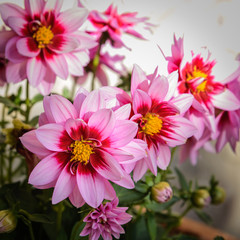 Dalias de color rosa