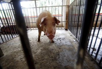 A pig is seen inside its cage at a husbandry farm in Hanoi
