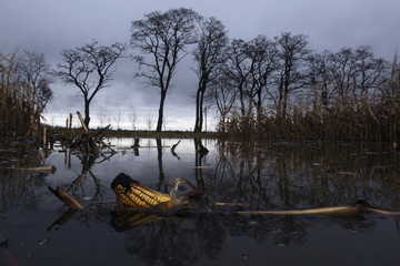 Ear of corn lies in waterlogged field that is flooded due to high ground water levels after thaw in Oderbruch region outside village of Manschnow