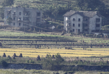 North Koreans harvest on a rice field near propaganda village of Gijungdong in this picture taken from a South Korean observation post