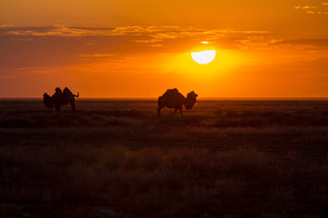 Silhouettes of camels against the background of a sunset in the desert