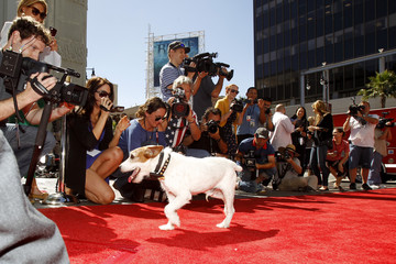"The dog Uggie, featured in the film ""The Artist"", arrives for the ceremony where he left his paw prints in cement in the forecourt of the Grauman's Chinese theatre in Hollywood"