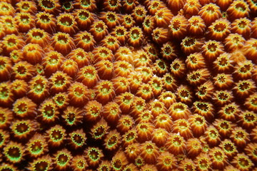 Coral detail close up of boulder star coral, Orbicella franksi, underwater in the Caribbean sea
