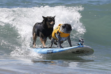 Two dogs surf during the Surf City Surf Dog Contest in Huntington Beach