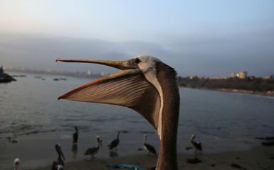 Pelicans are seen next to a fish market in the Chorrillos district of Lima