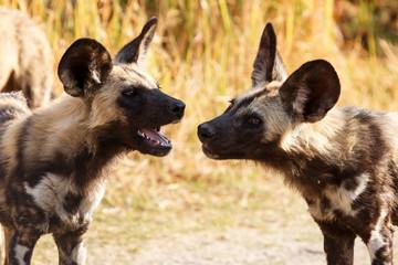 Wild Dog - Okavango Delta - Moremi N.P.