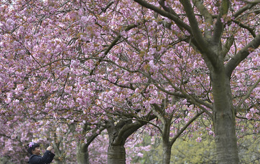 A woman takes images on a camera phone along an avenue of cherry trees coming into blossom in Greenwich Park, south London