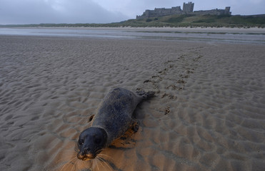 A seal pup attempts to crawl back to the sea in front of Bamburgh castle in Northumberland, northern England