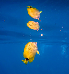 Beautiful yellow tropical fish swimming in Hawaiian ocean water.  Natures saltwater fish with reflection in vibrant blue water. Adventure of snorkeling in tropical Hawaii.