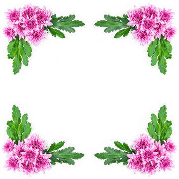 Pink chrysanthemum with green leaves frame.
