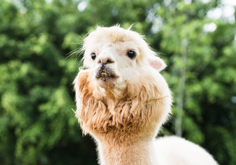 White Llamas or Alpaca (Vicugna pacos). animal concept.
