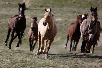 Horses run to the corrals during Montana Horses' annual horse drive outside Three Forks
