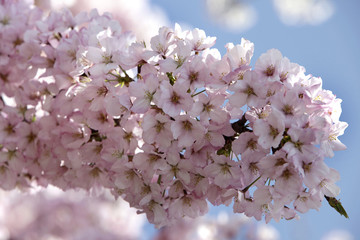 A pink cherry tree blooms along the Tidal Basin in Washington