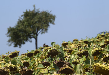 Dry sunflowers are pictured on a field near Grossengersdorf in Lower Austria province