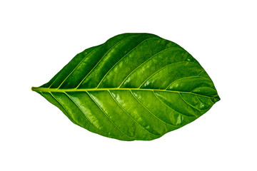 Green leaf on white