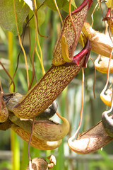 Pianta carnivora tropicale