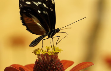 A Heliconius hecale butterfly sucks nectar from a flower at Blue Morpho Butterfly House in Alajuela