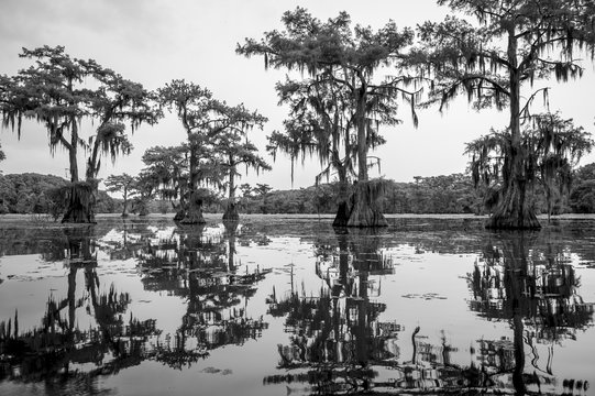 Spooky scenic view in monochrome of Spanish moss hanging from the limbs of bald cypress trees growing out from the swamp of Caddo Lake, on the Texas - Louisiana border