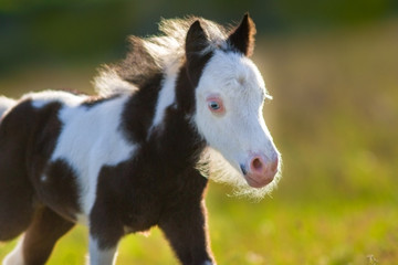 Beautiful piebald pony foal  close up portrait
