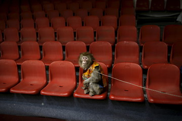 A trained monkey wearing a Korean traditional costumes waits to be photographed with kindergarten students after a performance at Monkey School, in conjunction with Chinese Lunar New Year celebrations in Goyang