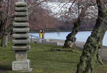 A woman photographs cherry blossom buds that have yet to bloom around the Tidal Basin in Washington