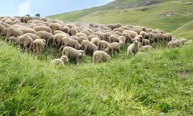 troupeau de moutons dans alpage de Savoie