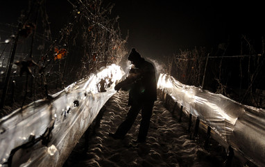 An employee of German winemaker Balthasar Ress opens the protection foil before picking frozen grapes during the harvest for the famous ice wine in Hattenheim