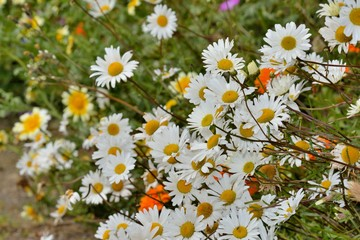 Grosses marguerites blanches