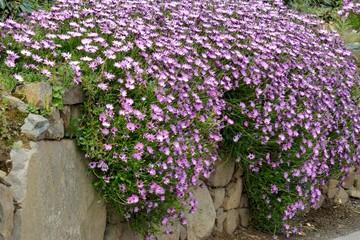 Fleurs d'Ostéospermum en Bretagne