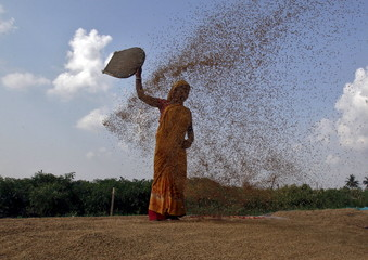 A woman farmer winnows a paddy crop after harvesting on the outskirts of Agartala