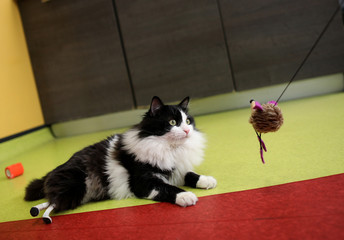 A picture shows Pooh the cat using his two bionic legs in Sofia's Central Vet Clinic