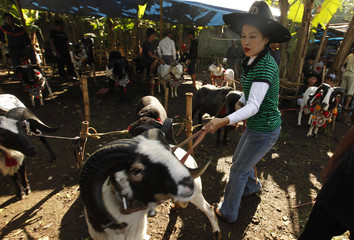 Domba Garut breeder Euis Komariah holds on to her ram after a fight during a Sundanese traditional cultural event called Adu Domba Garut at Parompong district in Bandung