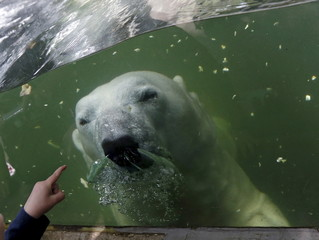 A polar bear swims underwater in its enclosure on a hot summer day at Prague Zoo