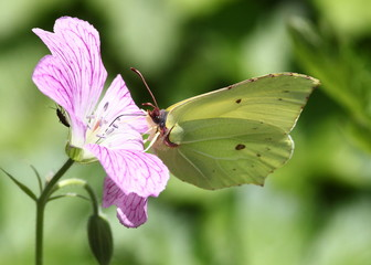 Male European Common Brimstone butterfly (Gonepteryx rhamni)  feeding on a colourful flower.
