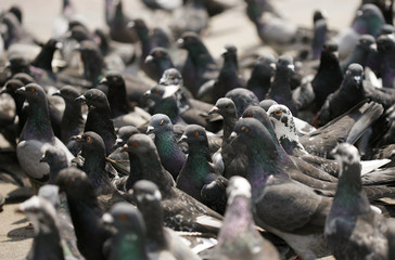 A flock of pigeons are seen on San Jose's central square