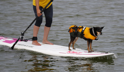 A dog wears a life jacket as it rides on a paddle board in the marine lake in New Brighton, northern England