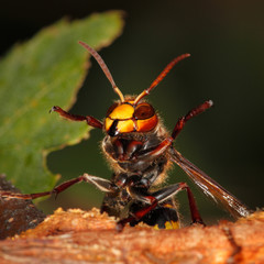 Large dangerous poisonous hornet with outspread paws on a green background. Striped Hornet with a large stinger close-up