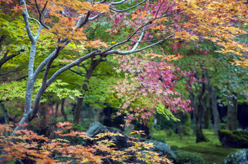 Lush foliage of Japanese maple tree during autumn in a garden in Kyoto, Japan