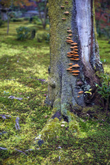 Mushrooms grow on tree bark during autumn in Japanese garden in Kyoto