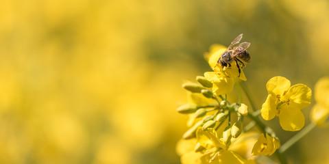 Biene sammelt Honig - Rapsblüte im Frühling