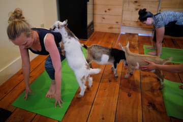 A goat climbs on instructor Janine Bibeau during a yoga class in Nottingham