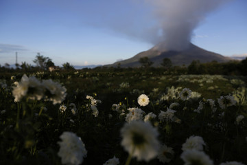 Flowers are seen with Mount Sinabung spewing ash into the air in the background at Simpang Empat village in Karo