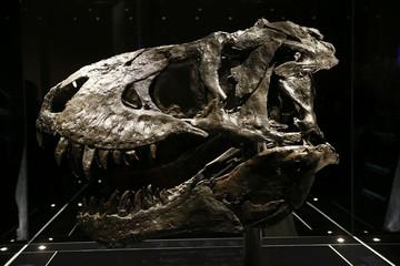Original Tyrannosaurus rex skull is shown at Natural History Museum in Berlin